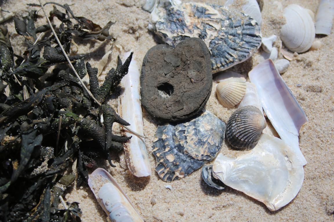 fossile haifischz hne am strand breskens urlaub an hollands nordsee und westerschelde. Black Bedroom Furniture Sets. Home Design Ideas